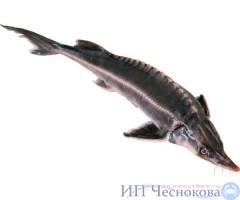 Осётр сибирский 2.5-3.5 кг