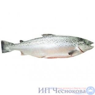 Сёмга (лосось) с/г 4-5