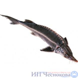 Осётр сибирский 3.5-4.5 кг